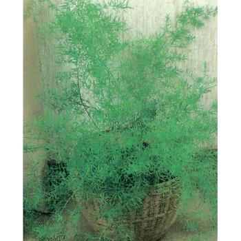 Sprengeri Asparagus Fern
