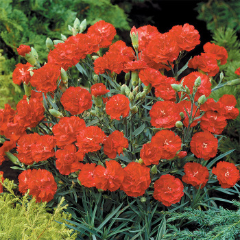 Can Can Scarlet Hybrid Carnation