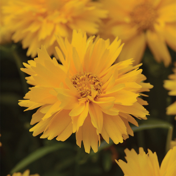 Double The Sun Coreopsis