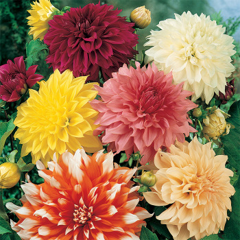 Decorative Giants Mixed Dahlia
