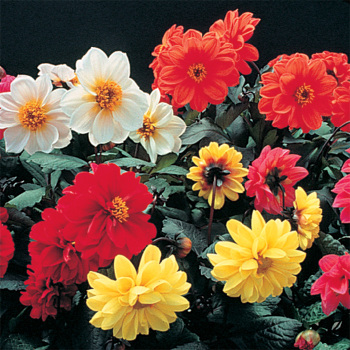 Redskin Mixed Dahlia