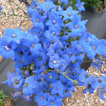 Diamonds Blue Hybrid Delphinium