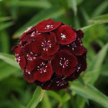 Sweet Black Cherry Hybrid Dianthus