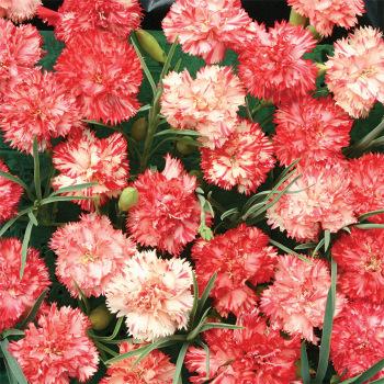 Ripple Orange Carnation