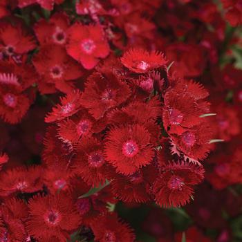 Rockin Red Hybrid Dianthus