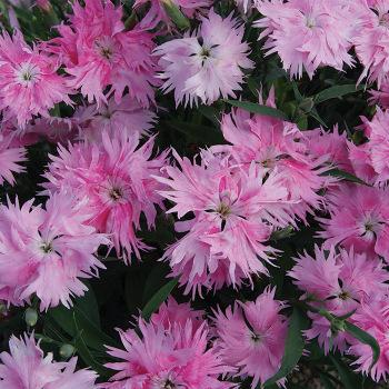 Supra Pink Hybrid Dianthus