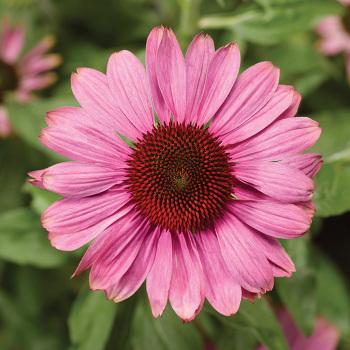 Praire Splendor Rose Compact Echinacea
