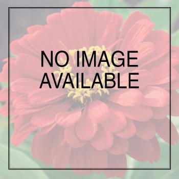 Empress Mix Hybrid Gloxinia - 250 seeds