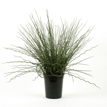 Fuseable Twisted Arrows Juncus