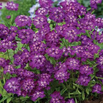 Purple Rain Candytuft