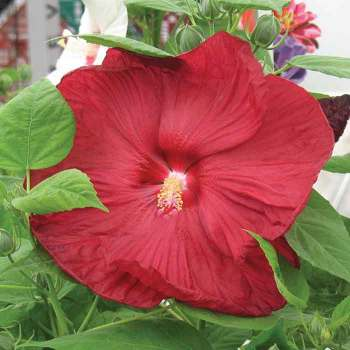 Disco Belle Rosy Red Hybrid Hibiscus