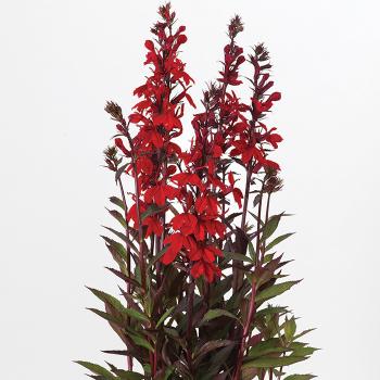 Scarlet Bronze Leaf Starship Hybrid Lobelia