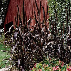 Millet, Ornamental