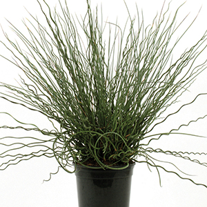 Juncus, Ornamental
