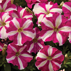 Milliflora