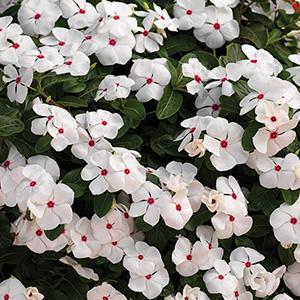 Cora Cascade Hybrids