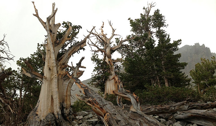 Question Your World What Is The Oldest Living Thing On Land