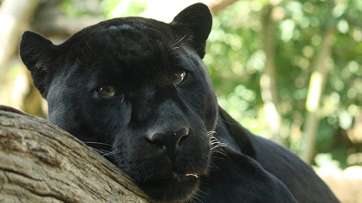 black panther laying on branch
