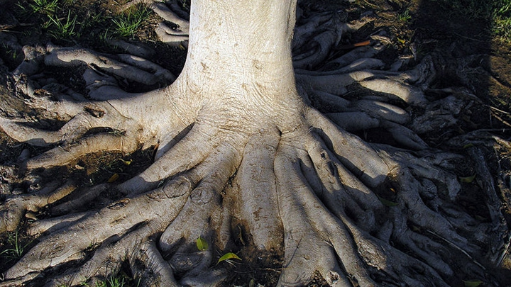 tree roots