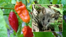 peppers and mice