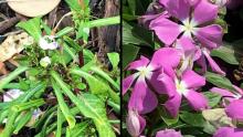 Vinca (Cartharanthus roseus)