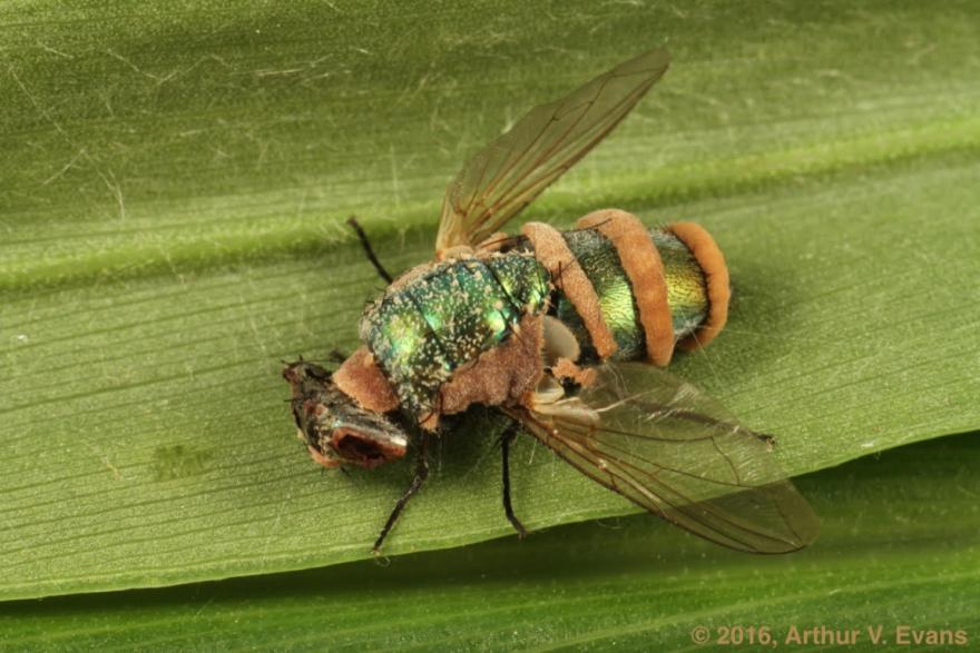 A dead blow fly (Lucilia species) killed by an entomopathogenic fungus