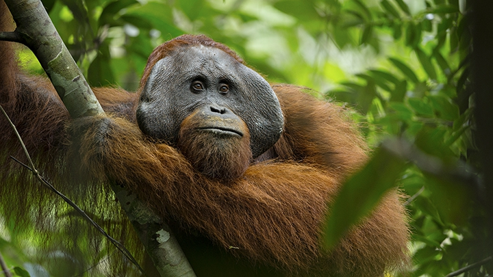 Image of: Endangered Bornean The Documentary Person Of The Forest Film 20 Years In The Making Highlights New Findings About The Culture Of The Critically Endangered Orangutans Community Idea Stations Virginia Filmmakers Highlight Culture Of Endangered Orangutans