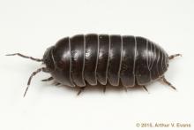 pillbugs, sowbugs, rolypoly, crustacean, isopod