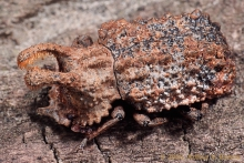Male forked fungus beetle