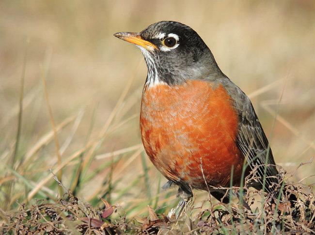 American Robin - Little Robin Redbreast