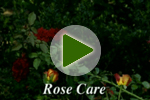 Summer Rose Care