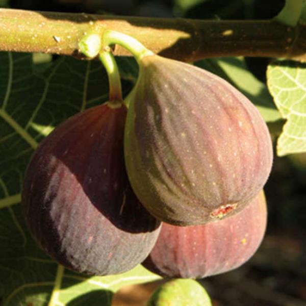 Original Variety Sweet Brown Fig Tree /'/'Brown Turkey/'/' ~50 Top Quality Seeds