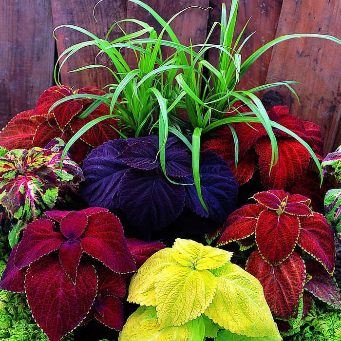 Giant Exhibition Mix Coleus Container Gardening Jung Seed Company