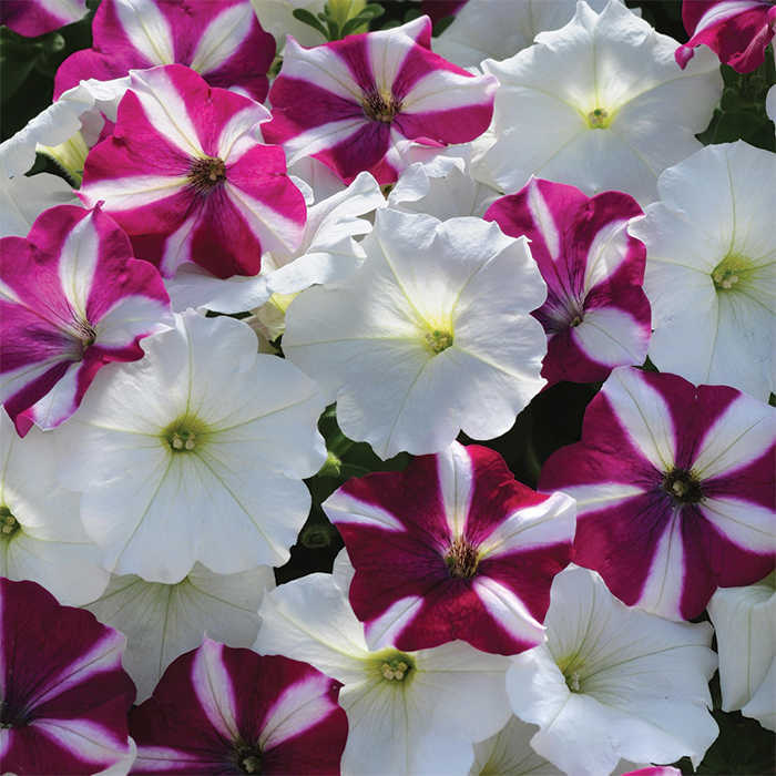 Starfish Mix Easy Wave Hybrid Petunia Container Gardening Jung