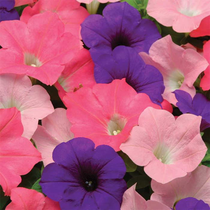 Beachcomber Mix Easy Wave Hybrid Petunia Container Gardening