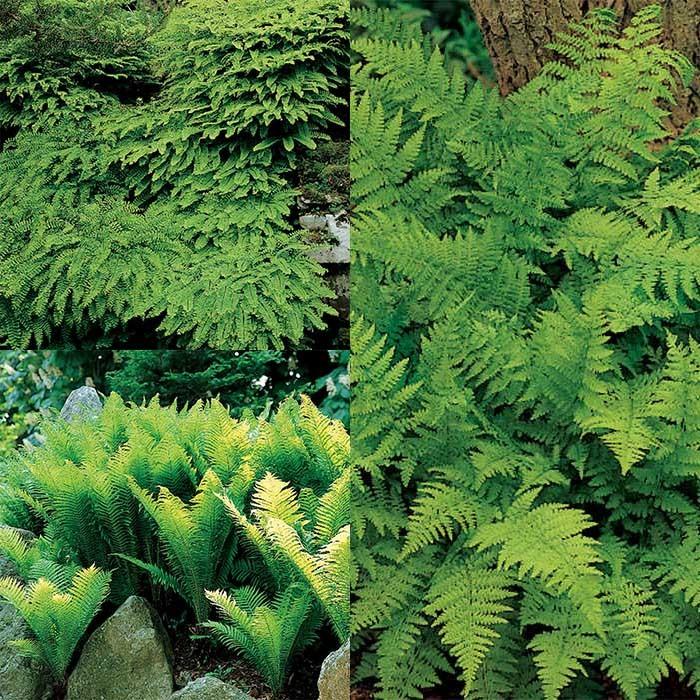 Native Fern Plant Offer 1 Each Of 5 Varieties Fern Jung Seed