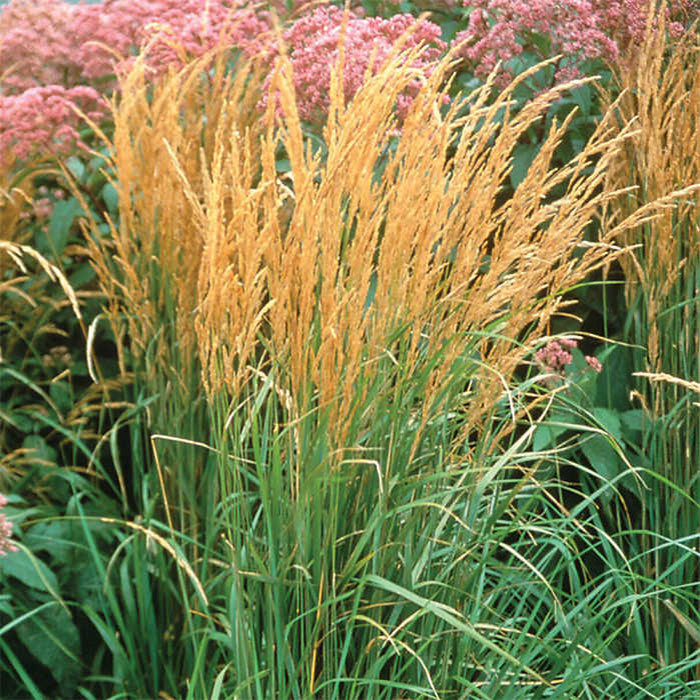Karl Foerster Feather Reed Grass Calamagrostis Jung Seed Company