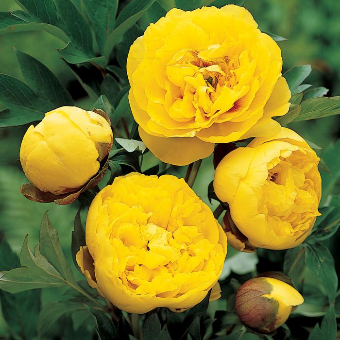 Yellow Crown Peony Jung Seed Company