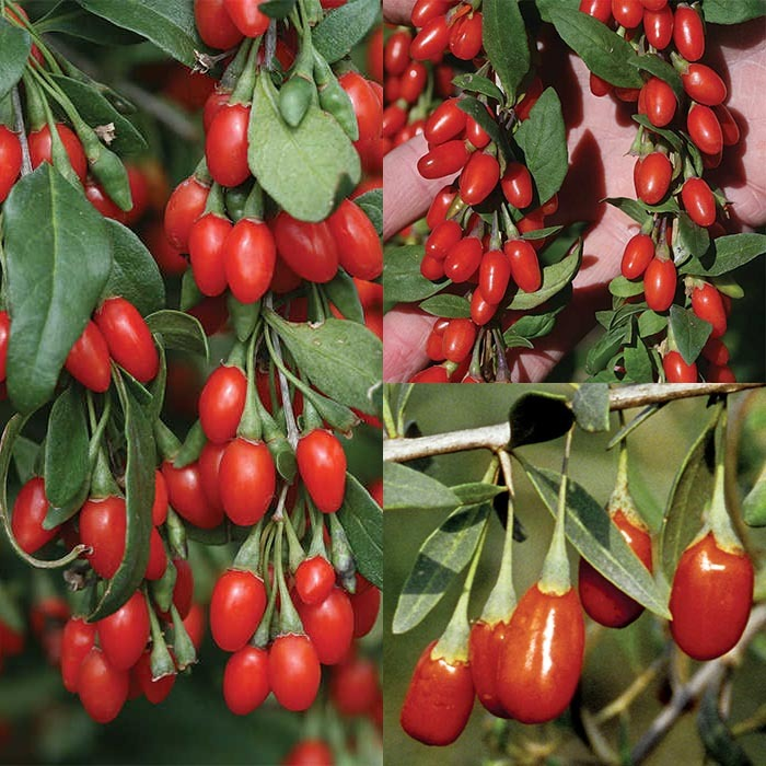 Goji Berry Offer Fruit Collection Jung Seed Company