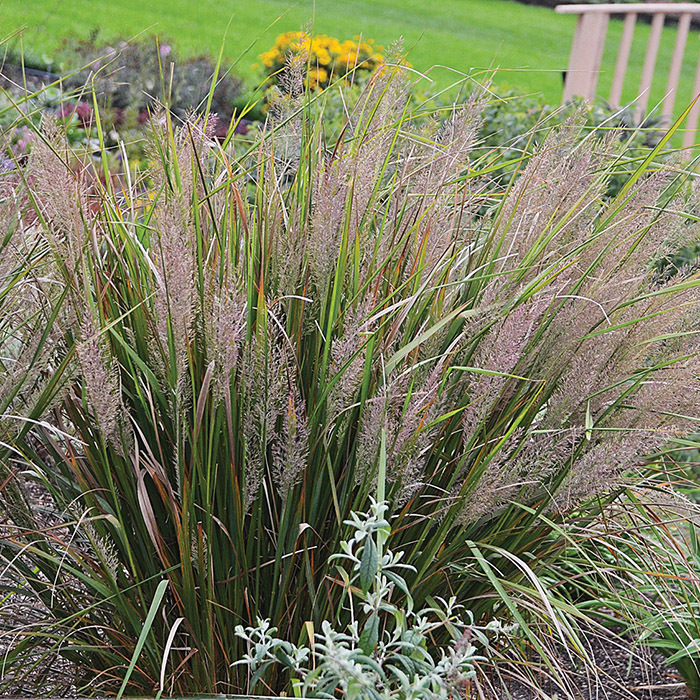 Korean Feather Reed Grass Calamagrostis Jung Seed Company