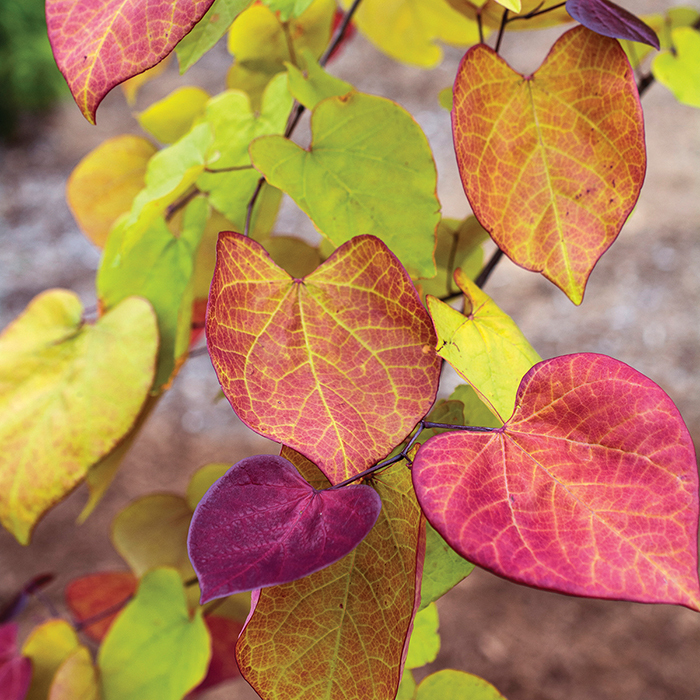 Flame Thrower Redbud Tree New Items Jung Seed Company