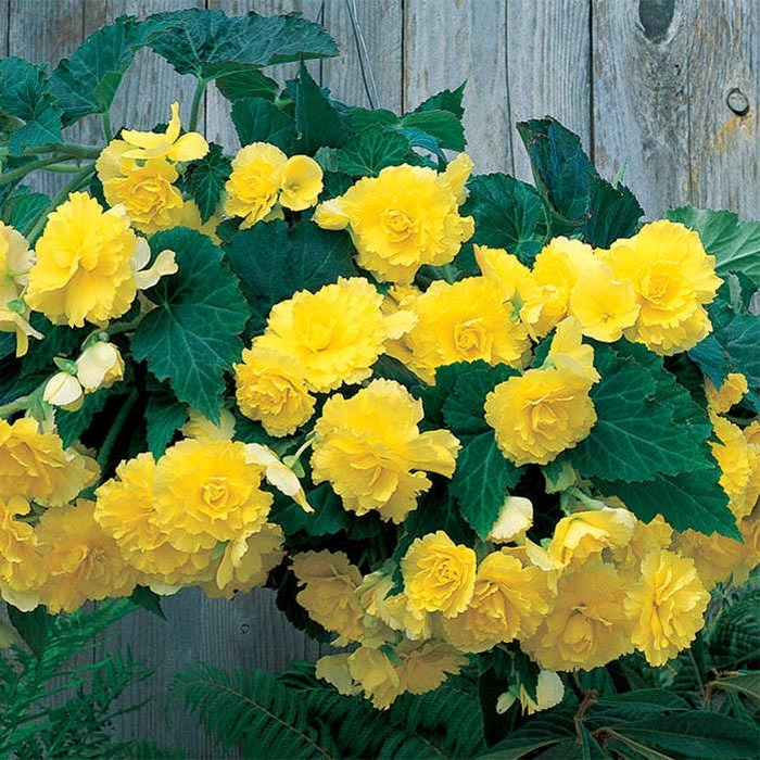 Yellow Hanging Basket Begonia Container Gardening Jung Seed Company