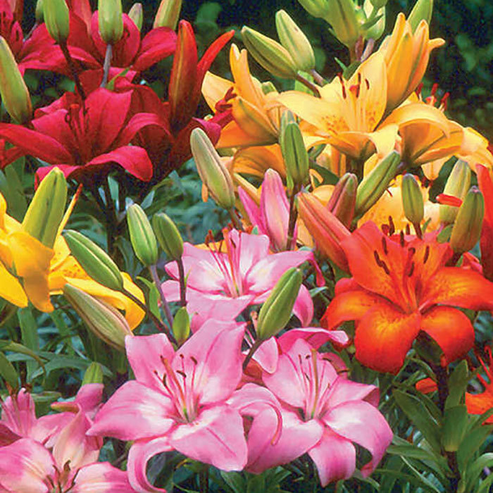 Asiatic Hybrid All Color Rainbow Mix Lily Jung Seed Company