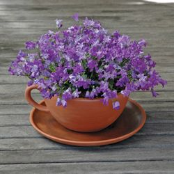 Giant Teacup and Saucer Planter