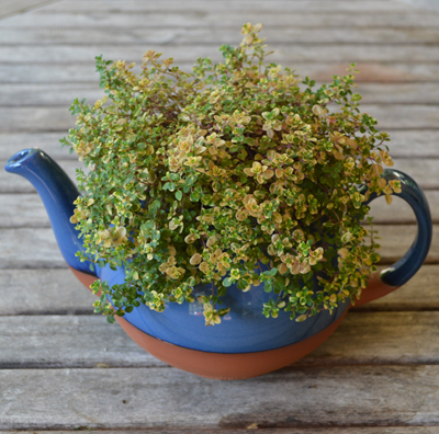 Blue Glazed Extra Large Teapot Planter