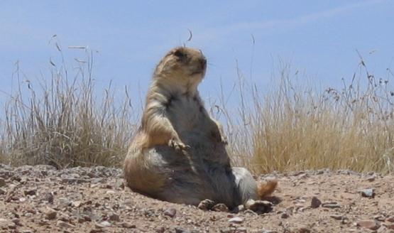 A chubby prairie dog