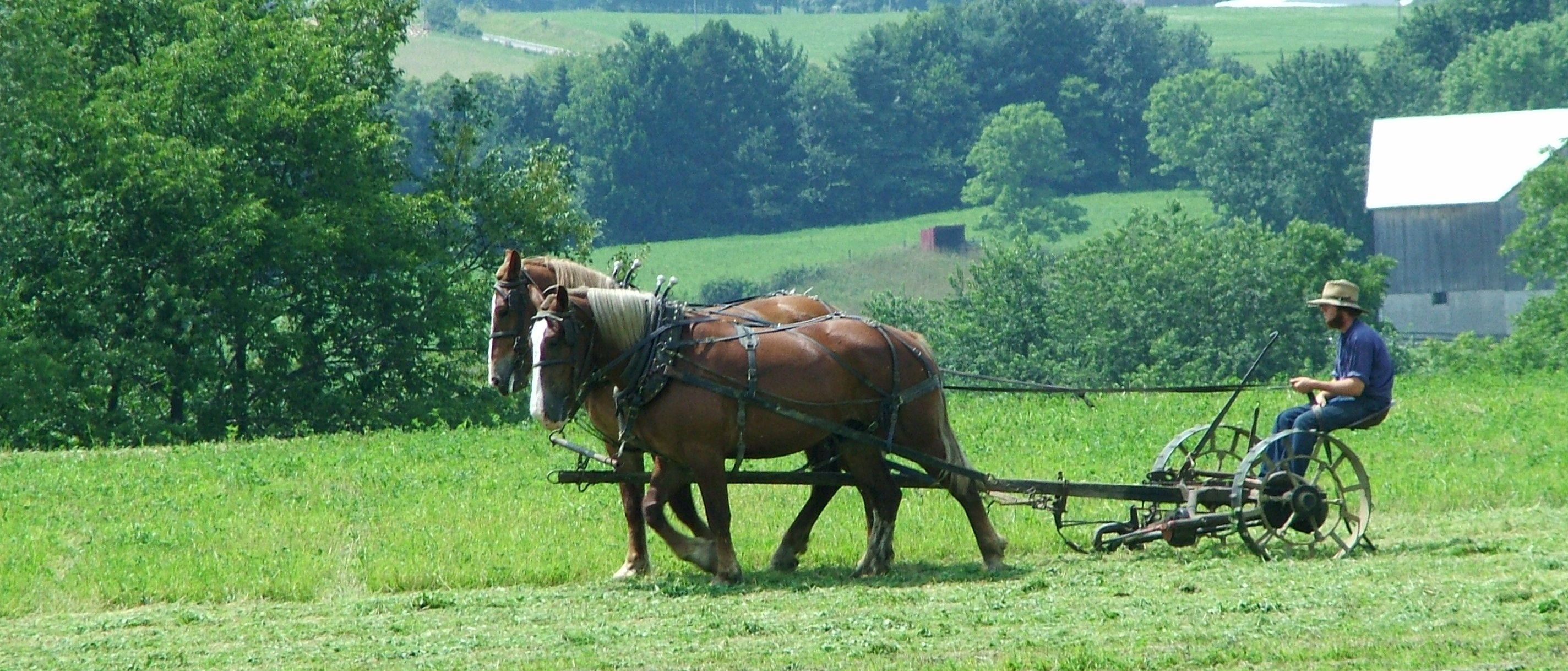 Amish farmer mowing field using horse drawn equipment