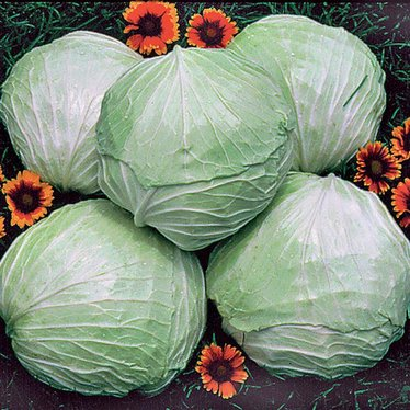 Premium Late Flat Dutch Cabbage Seeds