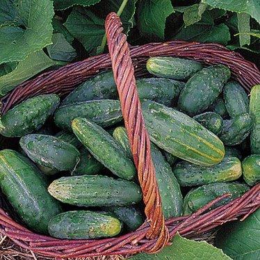 Bushy Cucumber Seeds