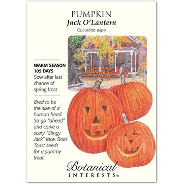 Pumpkin Jack O'Lantern Seeds